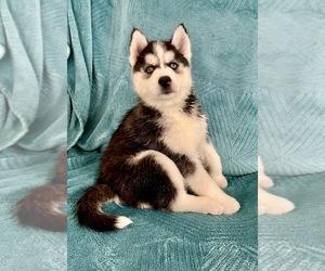 Siberian Husky Puppy for sale in N LAS VEGAS, NV, USA