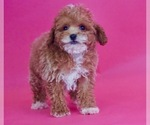 Puppy 7 Poodle (Toy)