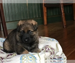 German Shepherd Dog Puppy for Sale in WINCHESTER, Kentucky USA