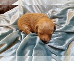 Puppy 6 Havanese-Poodle (Toy) Mix