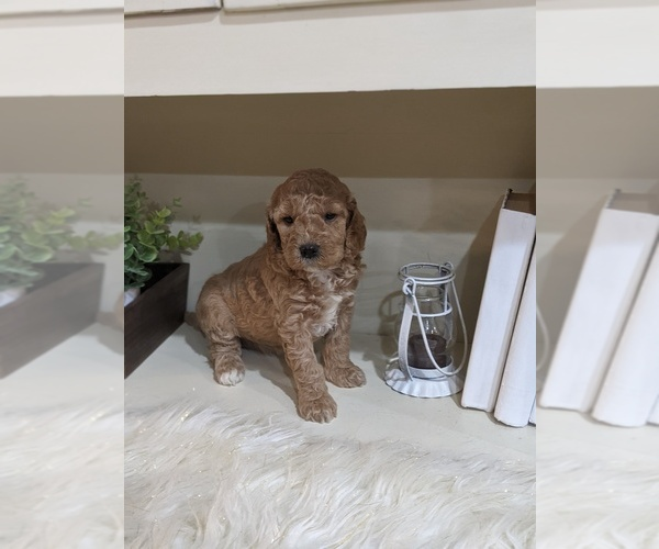 Medium Photo #4 Labradoodle-Poodle (Miniature) Mix Puppy For Sale in GOSHEN, IN, USA