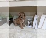 Small Photo #4 Labradoodle-Poodle (Miniature) Mix Puppy For Sale in GOSHEN, IN, USA