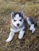 Siberian Husky Puppy For Sale in MORRISTOWN, TN