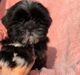 Zuchon Puppy For Sale in HOUSTON, TX, USA
