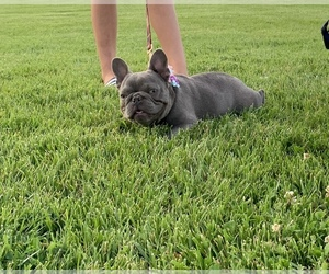 Mother of the French Bulldog puppies born on 10/25/2020