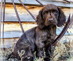 Boykin Spaniel Puppy for sale in WHEATLAND, WY, USA