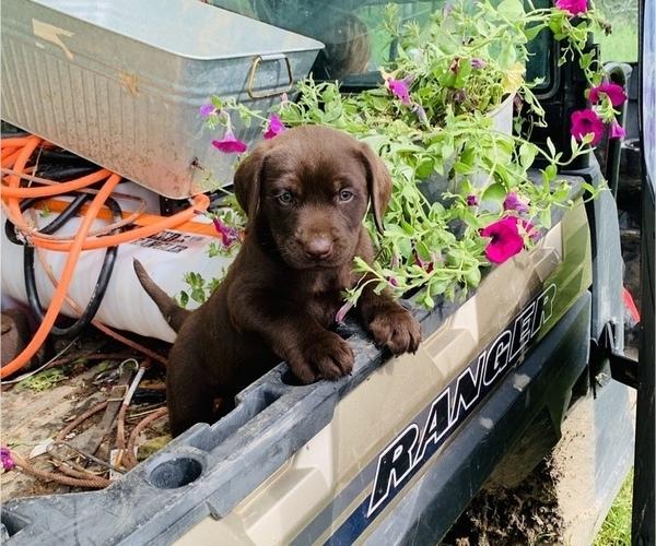 Medium Photo #8 Labrador Retriever Puppy For Sale in AVA, MO, USA