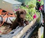 Small Photo #8 Labrador Retriever Puppy For Sale in AVA, MO, USA