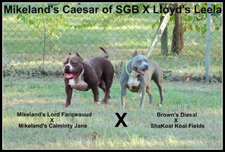 American Bully Puppy For Sale in ANNISTON, AL
