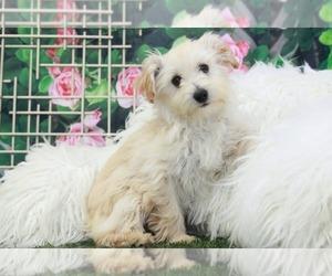 West Highland White Terrier Puppy for sale in MARIETTA, GA, USA