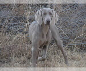 Mother of the Weimaraner puppies born on 10/29/2020