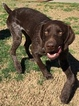 German Shorthaired Pointer Puppy For Sale in SUN VALLEY, California,