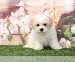 Bichon Frise Puppy for sale in MARIETTA, GA, USA