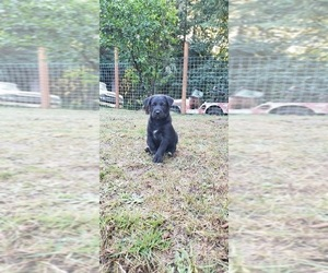 German Shepherd Dog-Labrador Retriever Mix Puppy for Sale in BURLINGTON, Oregon USA