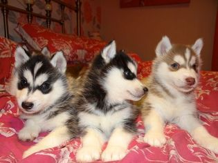 Siberian Husky Puppy For Sale in JACKSON, MS