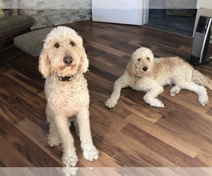 Goldendoodle Dog for Adoption in ALBUQUERQUE, New Mexico USA