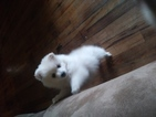 Pomeranian Puppy For Sale in INDEPENDENCE, Oregon,