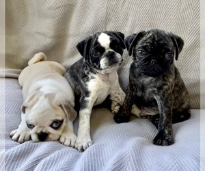 Pug Puppy for sale in BAY POINT, CA, USA