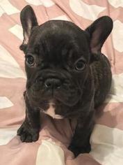 French Bulldog Puppy For Sale in CHARLESTON, SC