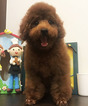 Poodle (Toy) Puppy For Sale in SAN JOSE, California,