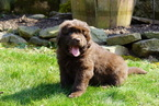 Newfoundland Puppy For Sale in FREDERICKSBURG, Ohio,