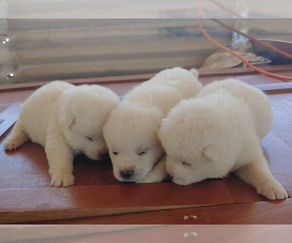 Medium Photo #1 Akita Puppy For Sale in AZUSA, CA, USA