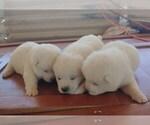 Small Photo #1 Akita Puppy For Sale in AZUSA, CA, USA