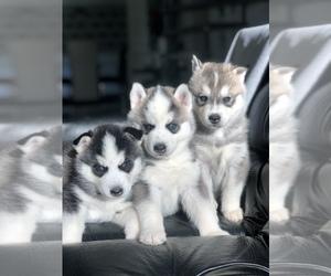 Siberian Husky Puppy for sale in CHARITON, IA, USA