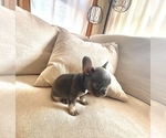 Small Photo #2 French Bulldog Puppy For Sale in BERWYN, IL, USA