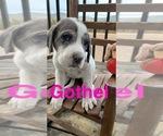 Puppy 7 Great Pyredane