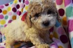 Cantel Puppy For Sale in EPHRATA, PA, USA
