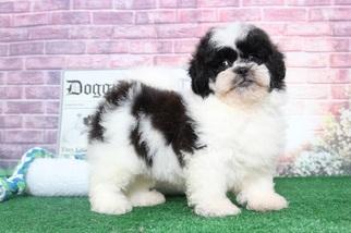 Milo Pretty Cool Male LhasaPoo Puppy