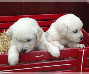 Golden Retriever Puppy for Sale in BELLINGHAM, Massachusetts USA