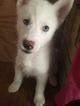 Siberian Husky Puppy For Sale in JOPLIN, MO