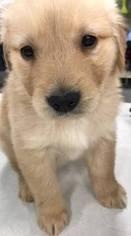 Golden Retriever Puppy For Sale in KOKOMO, IN