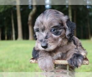 Aussiedoodle Puppy for Sale in LEXINGTON, Alabama USA