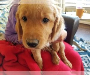 Golden Retriever Puppy for sale in PLANO, TX, USA