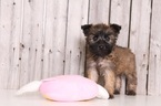Soft Coated Wheaten Terrier Puppy For Sale in MOUNT VERNON, OH