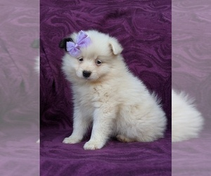 Pomeranian Puppy for sale in CHRISTIANA, PA, USA