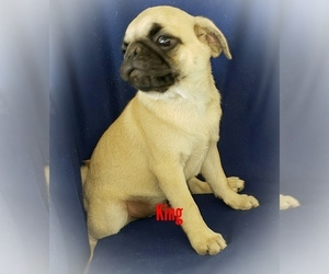 Pug Puppy for sale in LOUISE, TX, USA