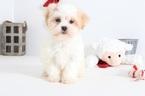 Johnny Male Teddy Bear Puppy