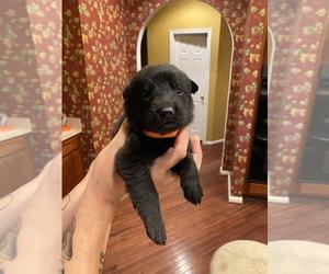 German Shepherd Dog Puppy for sale in STAFFORD, VA, USA