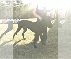 Father of the Great Dane puppies born on 04/03/2021