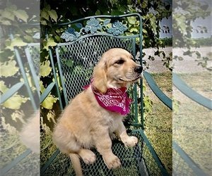 Golden Retriever Puppy for sale in RUSSIAVILLE, IN, USA