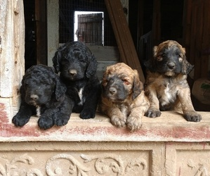 Saint Berdoodle Puppy for Sale in BRIDGEWATER, Virginia USA