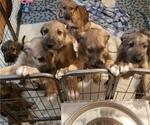 Small #8 Irish Wolfhound