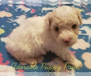 Maltipoo Puppy for Sale in ATHENS, Alabama USA