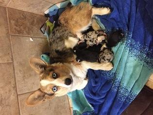 Welsh Cardigan Corgi Puppy For Sale in WAXAHACHIE, TX