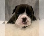 Small #17 Bulldog