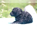 Small #40 Poodle (Standard)